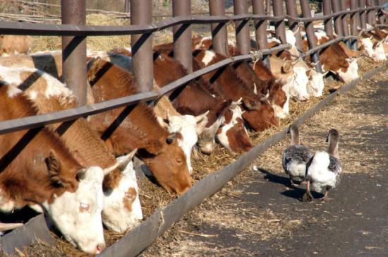 Руководство внесло в Государственную думу законодательный проект оразвитии мясного скотоводства