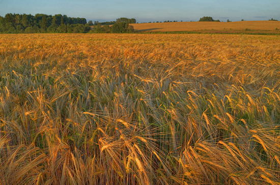 Россия побьет абсолютный рекорд Советского Союза по урожаю зерна