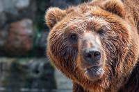Томские депутаты предложили продлить сроки охоты на медведей