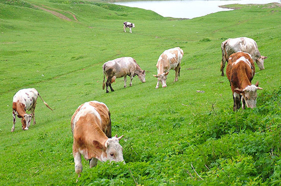В России стало меньше крупного рогатого скота, но производство молока растёт
