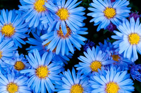 Японские учёные вывели синие хризантемы