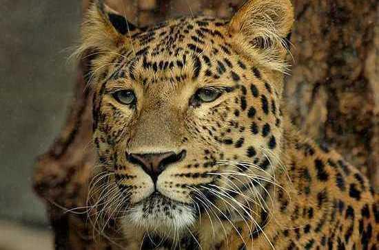 Сотрудники МВД по Карачаево-Черкессии пресекли незаконную продажу краснокнижных леопардов