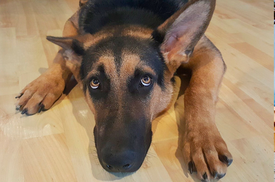 В Новосибирской области будут судить мужчин, убивших собаку для приготовления шашлыка