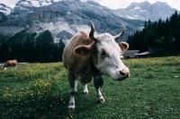 Президент России поручил Генпрокуратуре разобраться в ситуации с GPS-трекером на корове