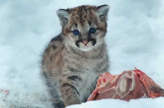 В зоопарке Новосибирска впервые за 5 лет пума родила детенышей