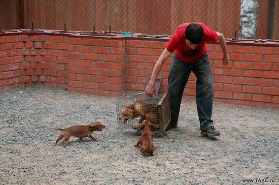 Контактную тренировку собак разрешат. Но только в охотничьих угодьях