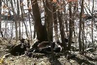 В Приморском крае впервые обнаружили редкого грифа с меткой из Монголии