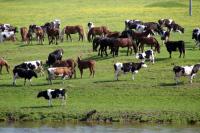 В Волгоградской области предложили ограничить количество скота в «безразмерных подворьях»