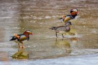 Краснокнижные утки-мандаринки вернулись на излюбленную реку в Приморском крае