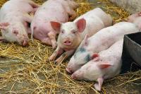 Россельхознадзор запретит поставки белорусских свиней с 10 апреля