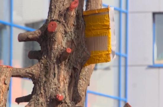 В Костроме спецкомиссия проверит процедуру обрезки деревьев