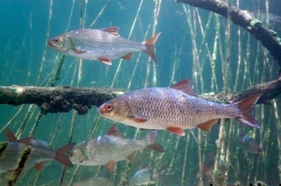 В Астраханской области рыбоводы начали эксперимент по искусственному воспроизводству воблы