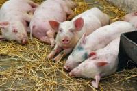 Россельхознадзор может получить полномочия для борьбы с чумой свиней