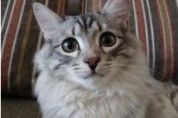 Пермяк продаёт кота-целителя, умеющего общаться с потусторонним миром, за 2 млн рублей