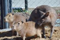 В сахалинском зоопарке кенгуру взял под опеку вновь прибывших капибар