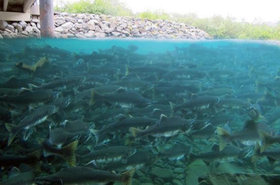 В Магадане биологи запустили в реку более 12 тысяч мальков горбуши