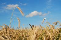 В Минсельхозе предлагают увеличить продажи зерна из интервенционного фонда