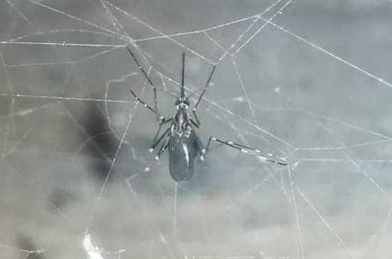 В Севастополе обнаружили опасного тропического комара