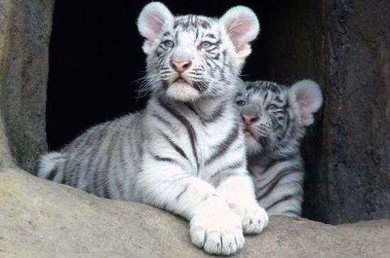 В крымском сафари-парке «Тайган» родились тигрята редкого окраса