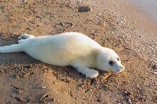 Умаханов призвал внести каспийского тюленя в Красную книгу