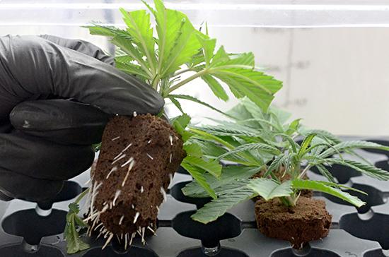 В России разрешат выращивать наркотики