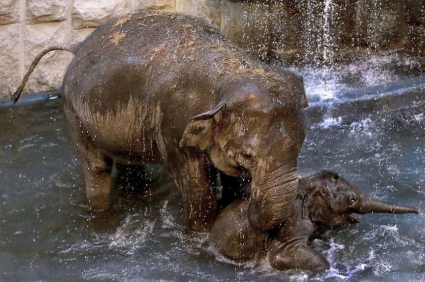 В Московском зоопарке 14 февраля слонов покормят «печеньями-валентинками»