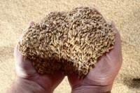 Минсельхоз ожидает снижения внутренних цен на зерно