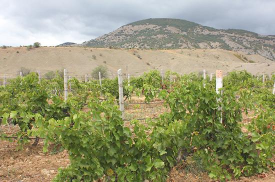 Крым может стать одним из мировых лидеров виноделия