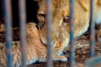 Цирковых животных предлагают защитить от жестокого обращения