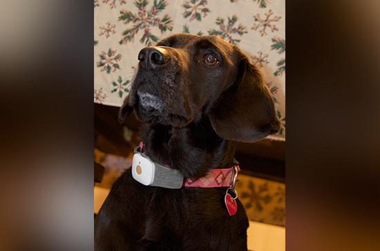 GPS-маячки на ошейниках собак предлагают вывести из списка шпионских устройств