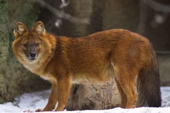 В России могут ужесточить наказание за продажу краснокнижных животных
