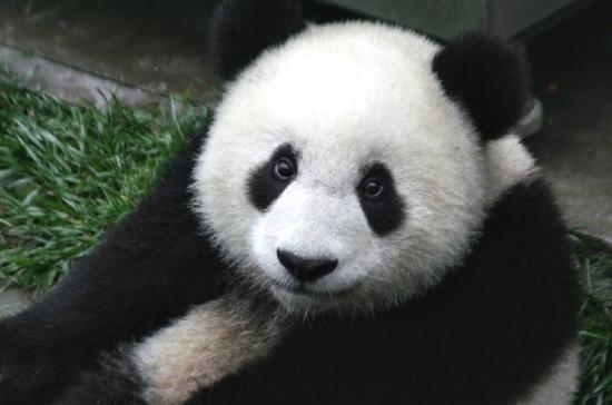 Лидеры России и Китая посетят церемонию передачи панд Московскому зоопарку