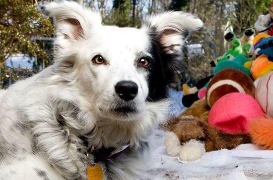 В США умерла «самая умная» собака в мире
