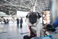 Как перевозить домашних животных в самолётах, поездах и автобусах