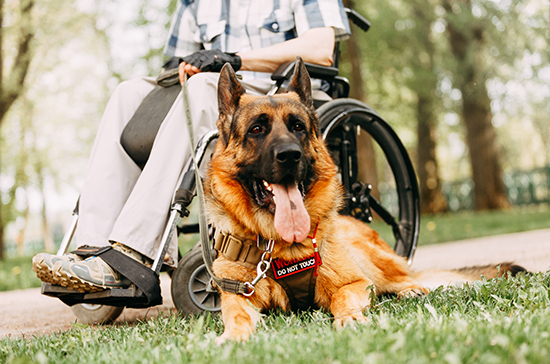 Собак-помощников хотят приравнять к поводырям