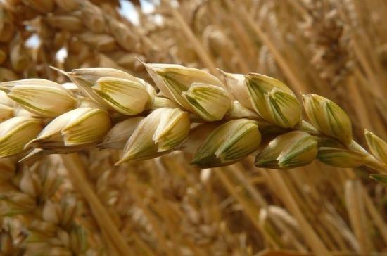 Минсельхоз готовит проект о временном ограничении экспорта зерна