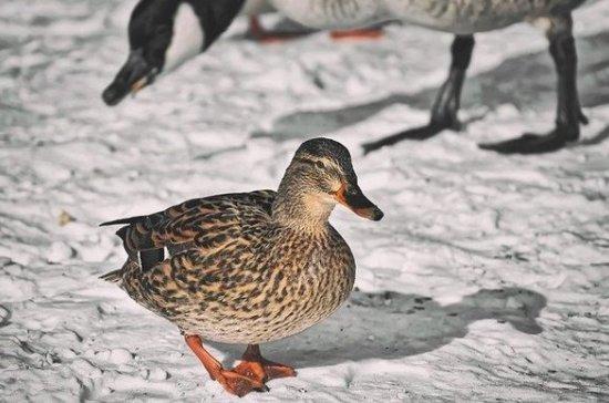 Число зимующих уток в два раза увеличилось в Казани