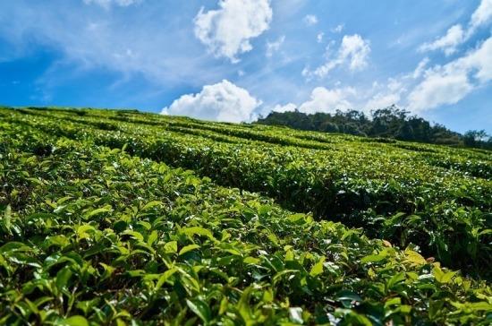 В Краснодарском крае восстанавливают заброшенные чайные плантации