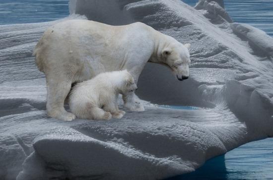 «Родильный дом» для белых медведей в Якутии предлагают сделать заповедником