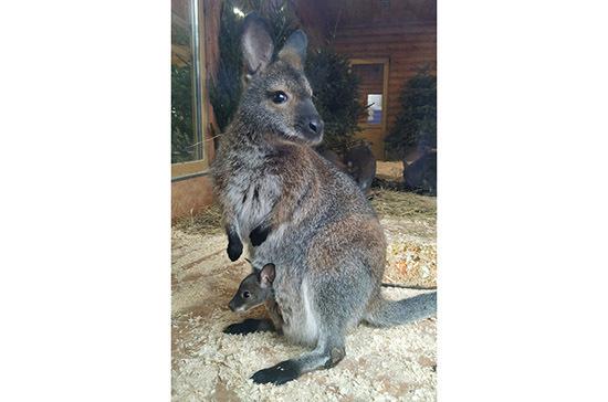 В зоопарке Санкт-Петербурга появился на свет детёныш кенгуру