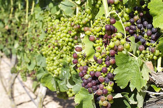 В Крыму начался сезон закладки виноградников