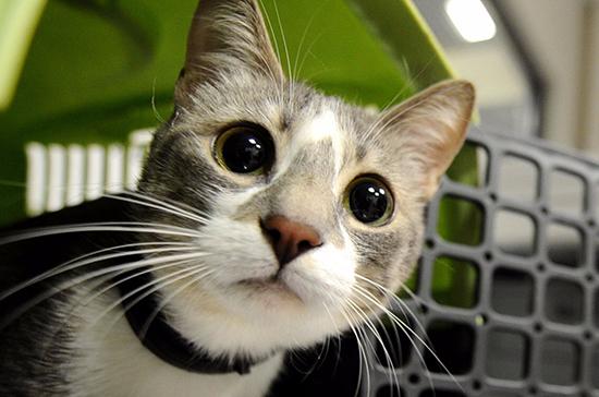 Учёные-биологи подтвердили, что COVID-19 может передаваться кошкам