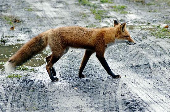 Почему и зачем в город пришли лисицы