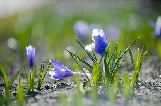 В Санкт-Петербурге распустились первые цветы