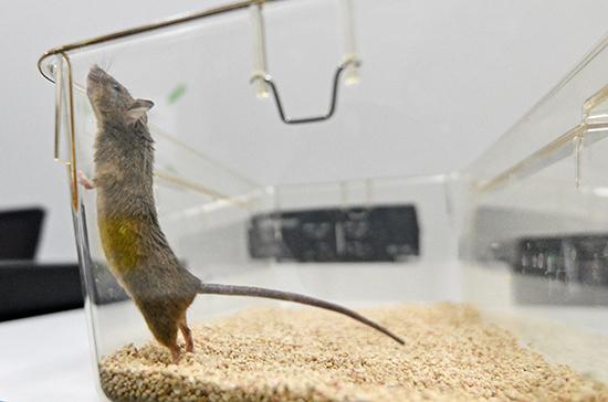 Мыши почувствуют коронавирус на себе