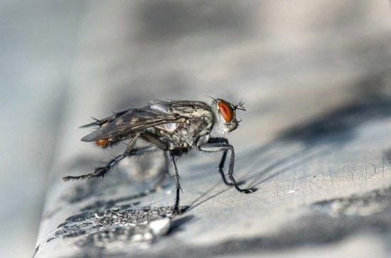 Учёные рассказали о главной опасности комнатных мух