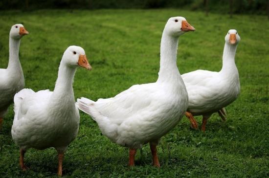 В Татарстане будут чипировать птиц