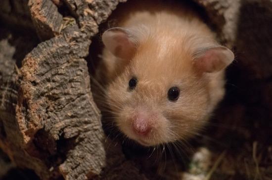 Зоолог объяснил, почему вымирают хомяки