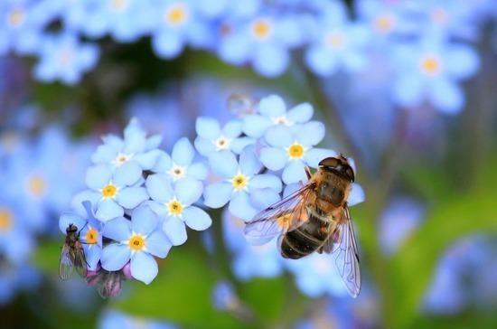 Пчёл в России предлагают защищать на государственном уровне