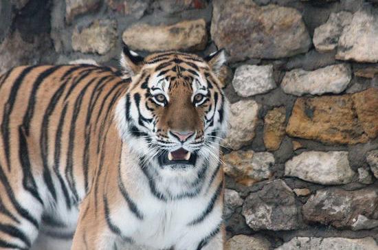 Амурский тигр всё ещё находится под угрозой вымирания